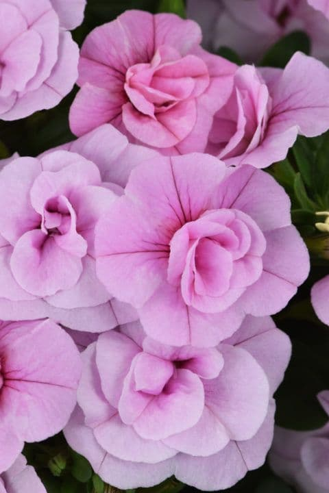 WFL® Calibrachoa Celebration Double Pink